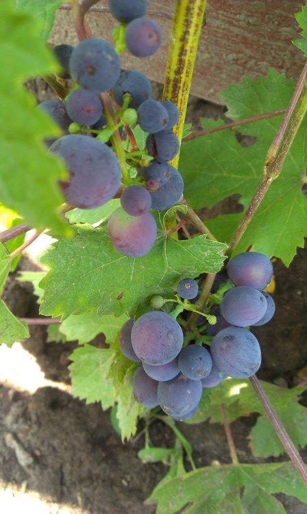 Гжатский виноград.jpg